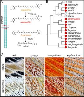 Development and Genetics of Red Colorization in the Zebrafish relative Danio albolienatus.