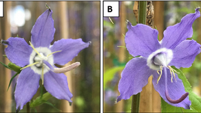 Galloway lab shows pollinator visits can depend on pollen color.