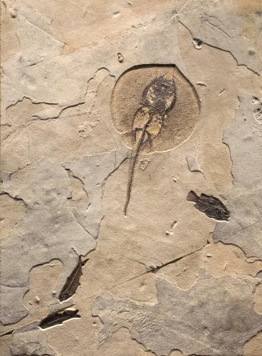 GREEN RIVER FOSSILS