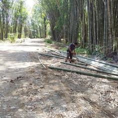 Bamboo harvest.JPG