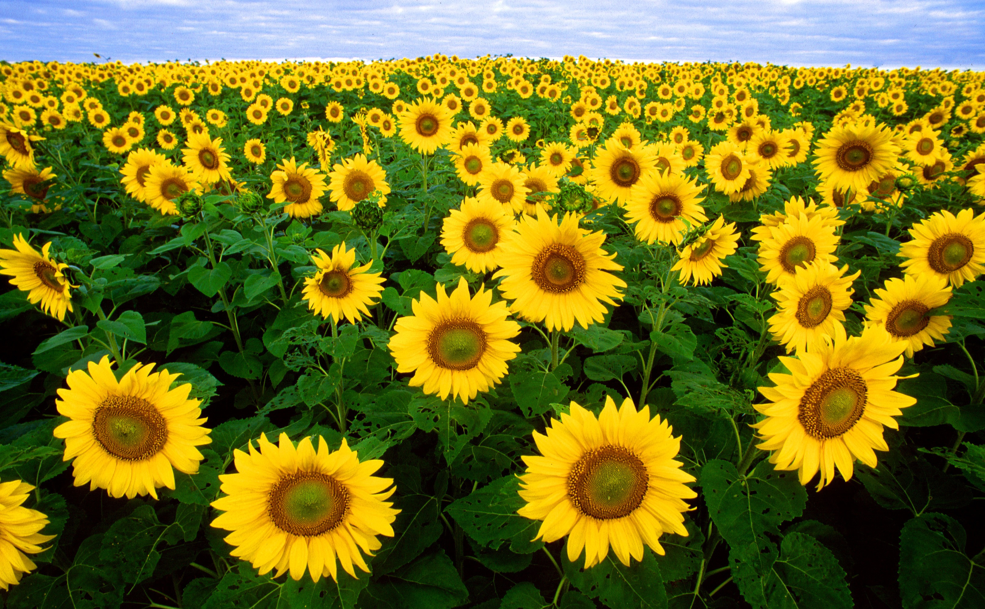 sunflower-sunflower-field-flora-field-87056.jpeg