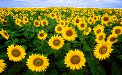 sunflower-sunflower-field-flora-field-87056.jpeg