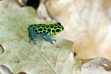 Ranitomeya imitator on leaf.jpg