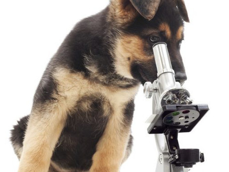 And then there were two: NSW Vet approved for GSD x-ray submission to Germany