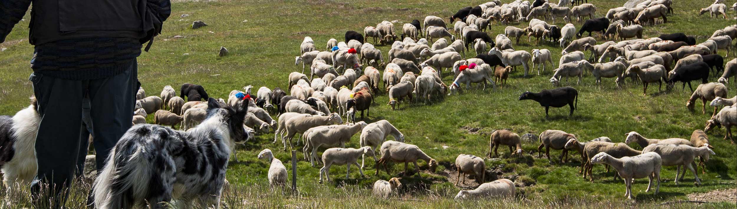 Identification de la viande Agneau de l'Ardèche