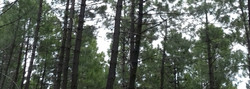 Amélioration des connaissances sur les populations de pins de Salzmann