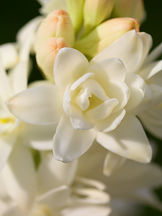 polianthes-tuberosa-29.jpg