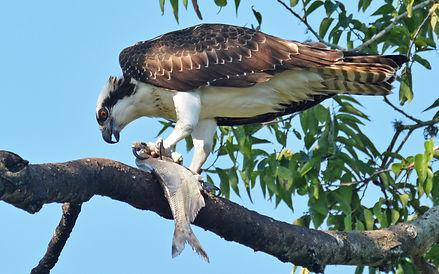 Osprey Credit to Jeremy Cohen.jpg