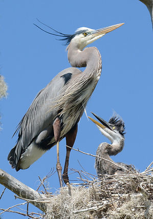 Great Blue Heron Credit to Jeremy Cohen.
