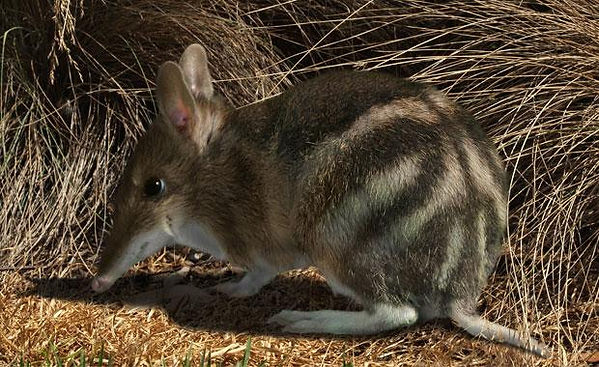 EasternBarredBandicoot.jpg
