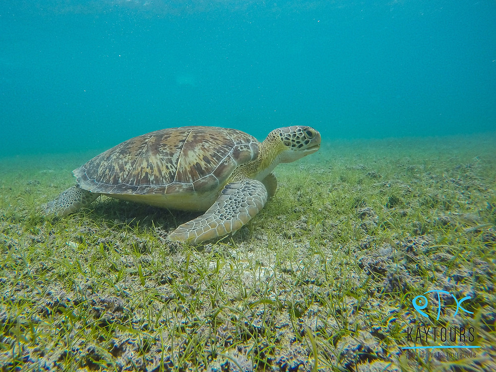Image of a turtle swimming in the bay in Akumal