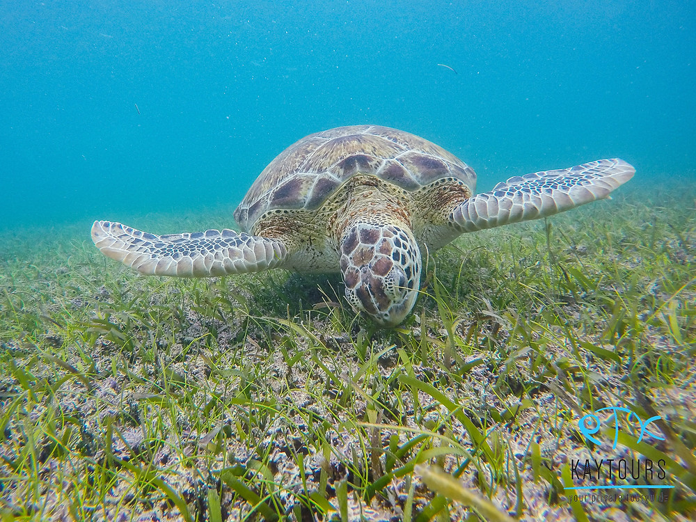 Picture of a turtle eating sea grass in the bay of Akumal