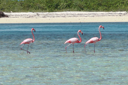 Flamingos in 3Bays MPA