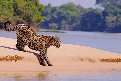 Jaguar, Panthera Onca, Female, Cuiaba Ri