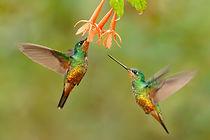 Hummingbird Golden-bellied Starfrontlet,