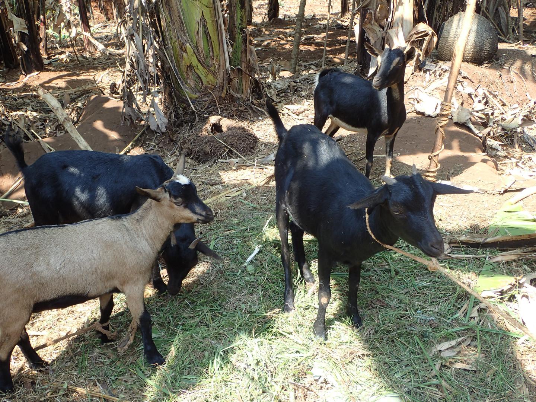 Denise's livestock