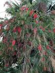 3. Callistemon viminalis – Red Cascade