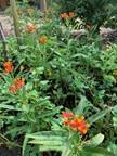16. Asclepias curassavica - Milkweed