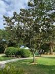 7. Magnolia grandiflora - Southern Magno