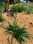 32. Agapanthus orientalis – African Lily