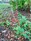 19. Scarlet Salvia - Tropical Red Sage