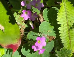 A Favorite Weed - Oxalis debilis