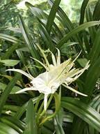 3. Hymenocallis latifolia - Spider Lily
