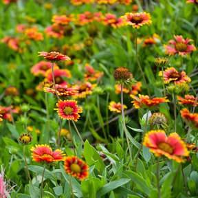 6. Gaillardia pulchella-Blanket Flower