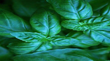Make the Most of Your Basil Plant