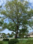 4. Quercus virginiana -  Live Oak