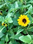 5. Helianthus debilis - Beach Sunflower