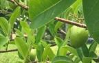 6. Annoa Glabra - Pond Apple