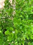 30. Myrcianthes fragrans - Simpson Stopp