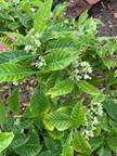 13. Psychotria nervosa - Wild Coffee