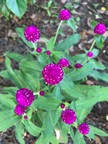 20. Gomphrena pulchella – Truffula Pink