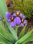 22. American Iris – Iris