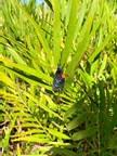 1. Zamia floridana – Coontie Palm
