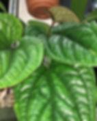 Anthurium radicans x dressleri. This pla