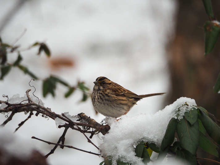 White-throated Sparrow (female_