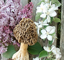 Maine Morel photograph by Greg Marley