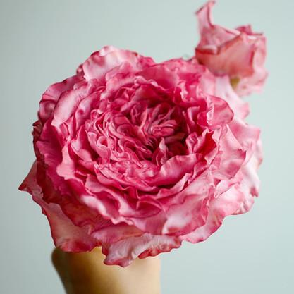 Sugar Yves Piaget rose