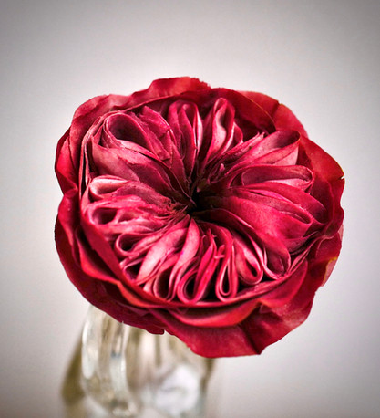 The passionate David Austin rose handcrafted in sugar