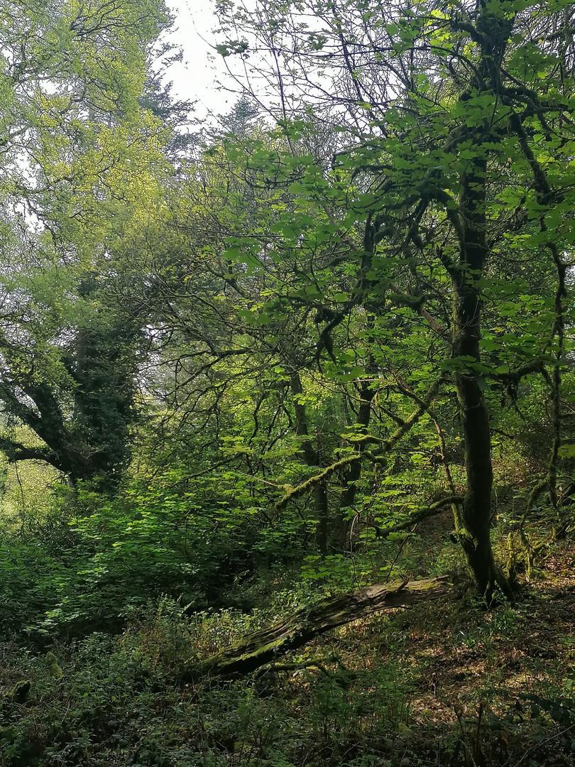 Aherlow Woods.jpg