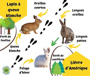 lapin_vs_lièvre.png