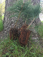 MAF-conifere-individuel-1.jpg