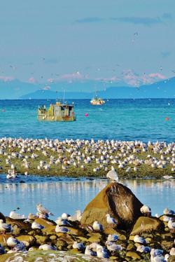 DSCN5455.JPG Qualicum Beach Herring