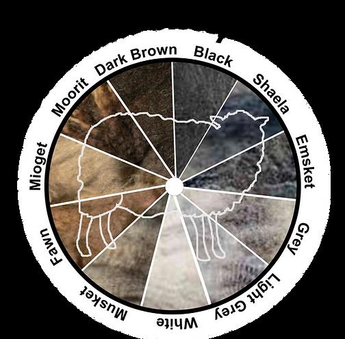 Shetland Sheep Colors