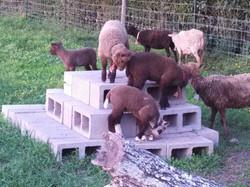 Lambs on blocks