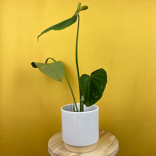 Philodendron Gloriosum 1