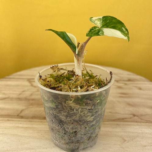 Syngonium Podophyllum Albo Variegata 3